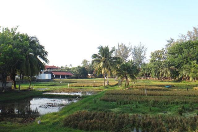 兰卡威岛稻田