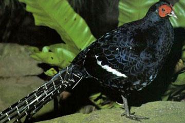 黑颈长尾雉保护区