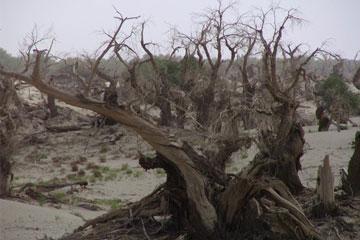 塔里木胡杨保护区