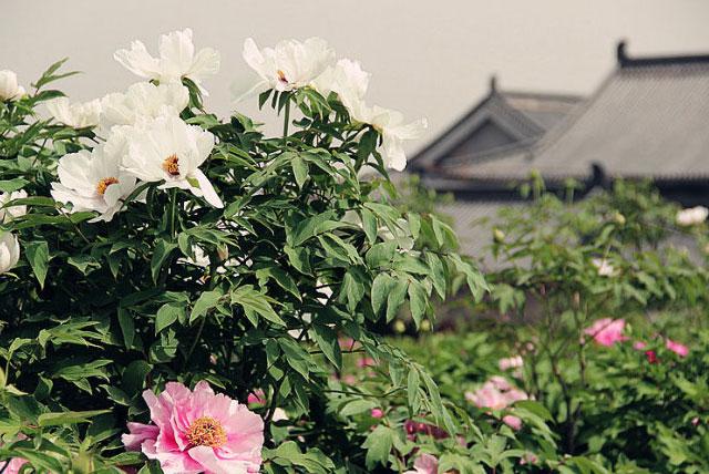 铜川牡丹园