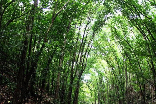 Mahogany森林
