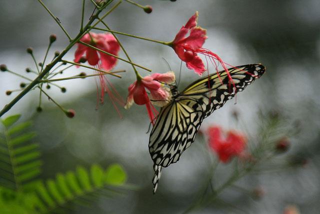 蝴蝶囍剪纸步骤图解
